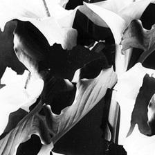 lilies_thumb